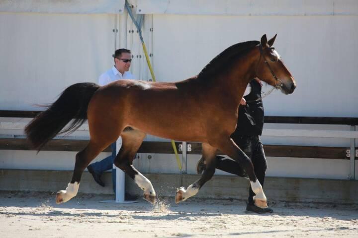 freiberger pferde kaufen